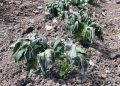 Potato leaves effected by an overnight frost in May (Photo: Sean James Cameron)
