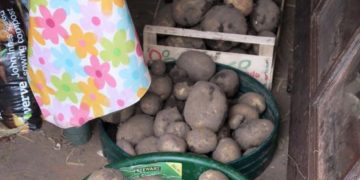 Vivi's Kitchen Garden: Potato harvest