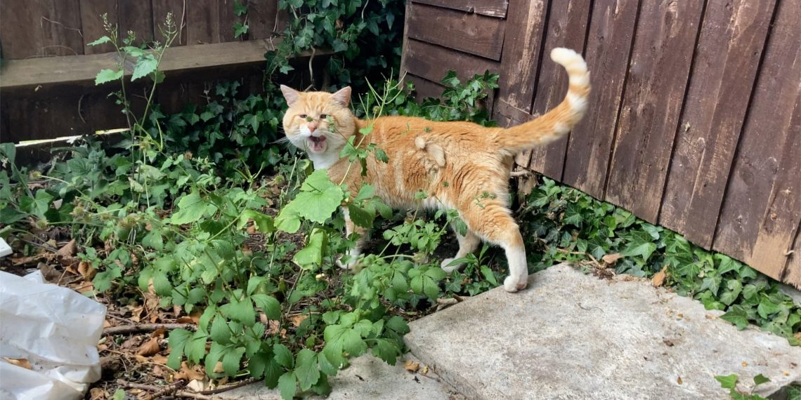 Rusty the Allotment Cat
